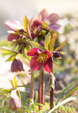 Pink spring hellebore Royalty Free Stock Photography