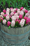 Pink spring hyacinth flowers Stock Photo