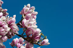 Pink spring magnolia flower Royalty Free Stock Images