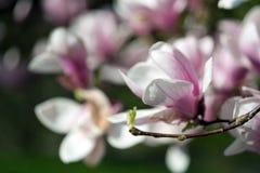 Pink spring magnolia flower Stock Image