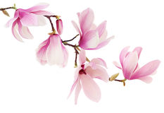 Pink spring magnolia flowers branch. Beautiful pink spring magnolia flowers on a tree branch