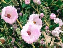Pink Spring. Nostalgia of spring's dew Stock Image