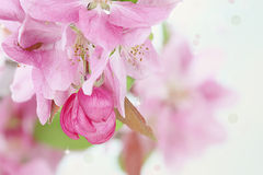 Pink Spring Tree Blossoms Royalty Free Stock Images