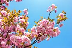 Pink spring tree flowers. Beautiful almond tree flowers against blue sky Prunus triloba royalty free stock photography