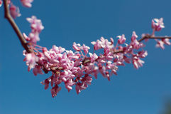 Pink spring tree Royalty Free Stock Photography