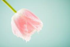 Pink spring tulip Stock Image