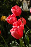 Pink Spring Tulips. A gathering of pink tulips in a garden Stock Photo