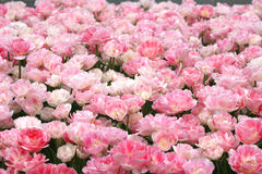 Pink spring tulips Stock Image
