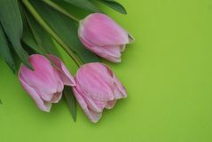 Pink Spring Tulips over a Green background, in a flat lay composition with Copy space. Spring flowers. Royalty Free Stock Image