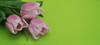 Pink Spring Tulips over a Green background, in a flat lay composition with Copy space. Spring flowers. Banner. Stock Photos