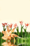 Pink spring tulips on white background royalty free stock images