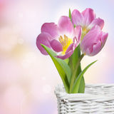 Pink spring tulips in white basket. Pink tulips in white basket stock photography