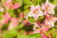 Pink spring weigel flowers, close up Royalty Free Stock Image