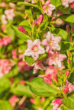 Pink spring weigel flowers in the spring garden, close up Royalty Free Stock Images