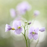 Pink spring wild flower Stock Photography