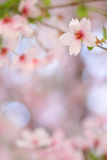Pink springtime blossom with a beautiful smooth bokeh Royalty Free Stock Photos