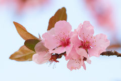Pink springtime blossom with a blue background Royalty Free Stock Images