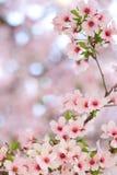 Pink springtime sakura blossoms Stock Photography
