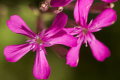Pink 5-Star Flowers Stock Photo