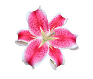 Pink Stargazer Lilies flowers on white background. Royalty Free Stock Images