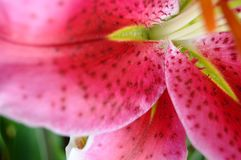 Pink Stargazer Lilly Flower Stock Photo