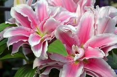 Pink stargazer lily flowers. Beautiful pink stargazer lily flowers in full bloom Stock Photo