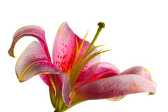 Pink Stargazer lily isolated on white. Uptured Pink Stargazer lily flower, close-up, isolated on white royalty free stock image