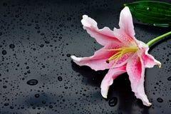 Pink stargazer lily (Lilium Stargazer). Beautiful pink stargazer lily (Lilium Stargazer) with waterdrops on black background Stock Photo