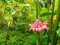 Pink stem ginger in Barbados stock image