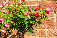 Pink stem roses in front of stone wall Royalty Free Stock Image