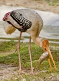 A painted stork eating a fish Royalty Free Stock Image