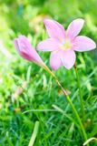 Pink Storm Lily. The close up shot of the beautiful pink Storm Lily royalty free stock images