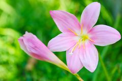 Pink Storm Lily. The close up shot of the beautiful pink Storm Lily royalty free stock photo