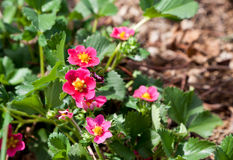 Pink Strawberry Blooms Royalty Free Stock Image
