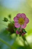 Pink strawberry flower. A pink flower of strawberries in the spring of the year that give us in the summer yummy strawberries Royalty Free Stock Photography
