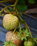 Pink Strawberry in garden Royalty Free Stock Photography