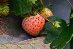 Pink Strawberry in garden Royalty Free Stock Images