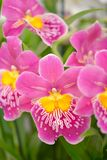 Pink Strawberry Miltonia Orchid (Vertical) Royalty Free Stock Photo