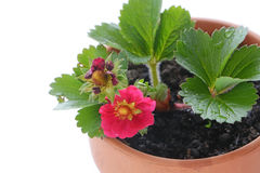 Pink Strawberry plant Royalty Free Stock Photos
