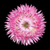 Pink Strawflower Flower, Helichrysum bracteatum Royalty Free Stock Photo
