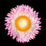 Pink Strawflower, Helichrysum bracteatum Isolated Stock Image