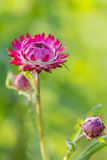 pink Strawflower Royalty Free Stock Photography
