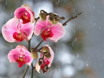 Pink streaked orchid branch before winter-window. Pink streaked orchid branch with buds before winter-window, snowfall Stock Photos