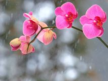 Pink streaked orchid branches before winter-window. Pink streaked orchid branches with buds before winter-window, snowfall Royalty Free Stock Photos