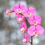 Pink streaked orchid branches before winter-window. Pink streaked orchid branches with buds before winter-window, snowfall Stock Photography