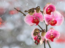 Pink streaked orchid branches before winter-window. Pink streaked orchid branches with buds before winter-window, snowfall Royalty Free Stock Images