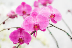 Pink streaked orchid flower Royalty Free Stock Image