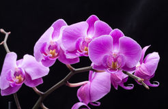 Pink streaked orchid flower, Stock Images