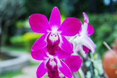 Pink streaked orchid flower Royalty Free Stock Photo