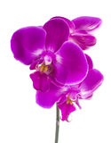 Pink streaked orchid flower Stock Images